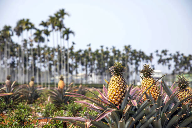 TWN: Pineapple Harvest In Taiwan Amid Latest Trade Dispute With China