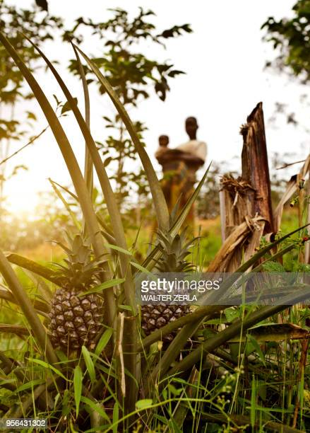 pineapples growing in foreground, two people in background behind, birayi, bujumbura, burundi, africa - east africa stock photos and pictures