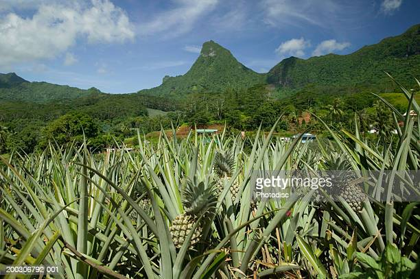 Pineapples growing in the mountains