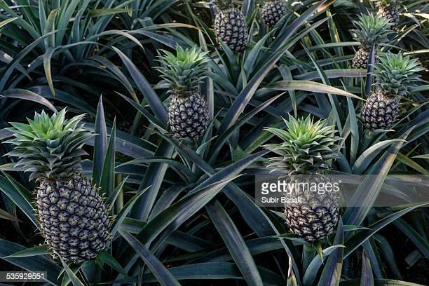 Pineapples plant in garden, India