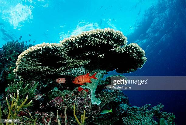 pinecone soldierfish (myripristis murdjan) under table coral, indian ocean, maldives - squirrel fish 個照片及圖片檔