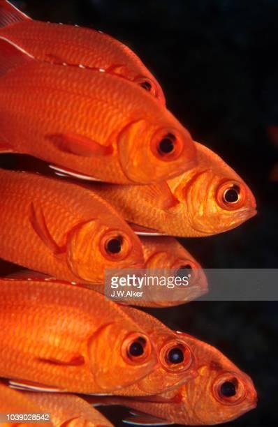 pinecone- white-edged or blotcheye soldierfish, (myripristis murdjan), maldives - vista lateral stock pictures, royalty-free photos & images
