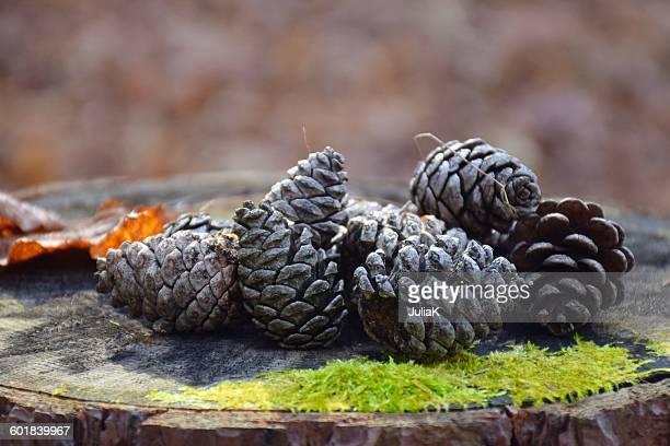 Pinecones on a tree stump