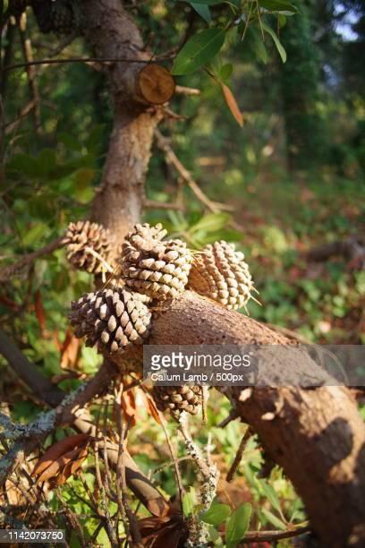 pinecones - サンブルーノ ストックフォトと画像