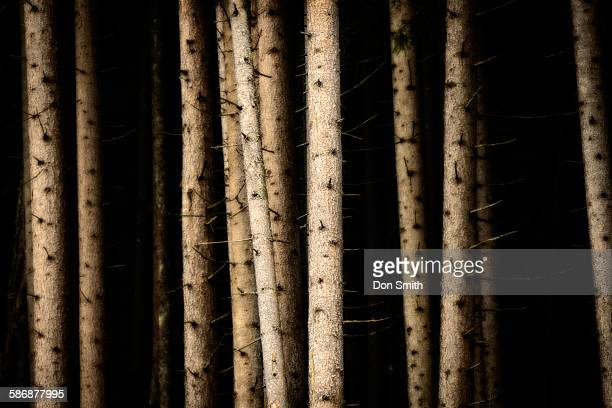 pines in tyroleon alps - don smith stock pictures, royalty-free photos & images