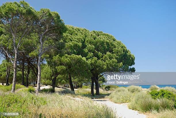Pines (Pinus pinea) on sand dune on the beach, Santa Anna, Pineta Sardinia, Italy, Europe
