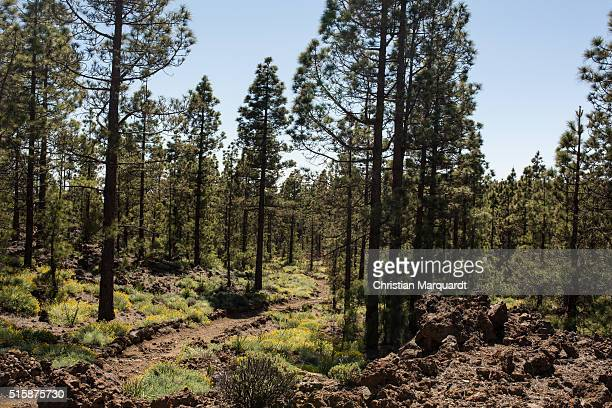 Pines Pine trees and a road in a forest next to Vilaflor pictured on February 29 2016 in Tenerife Spain Tenerife with his capital Santa Cruz de...