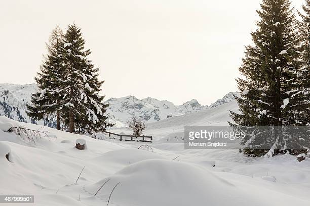 pinetree on perfect fresh snow cover - merten snijders stockfoto's en -beelden