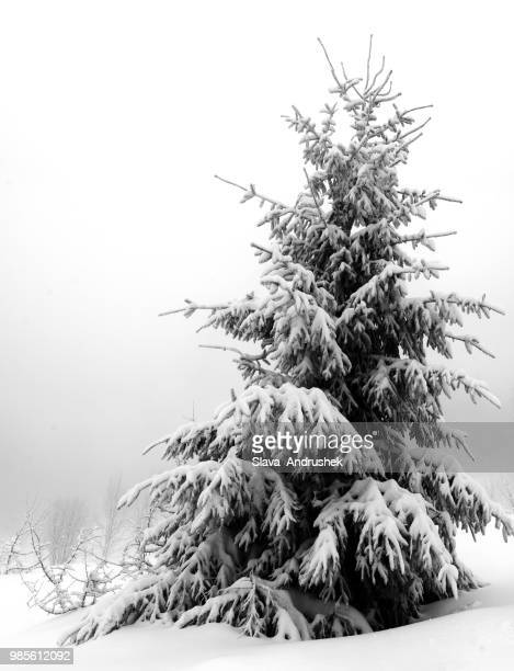 pinetree - spruce tree stock pictures, royalty-free photos & images