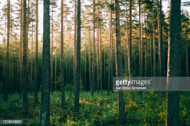 pinewood forest in sunrise, sognsvann, oslo - pinaceae stock pictures, royalty-free photos & images