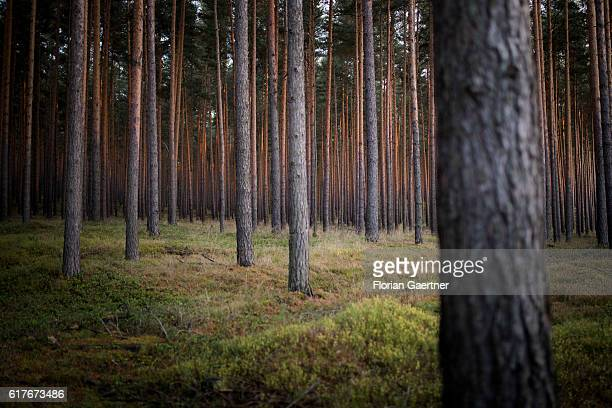 A pinewood is pictured on October 23 2016 in Rietschen Germany