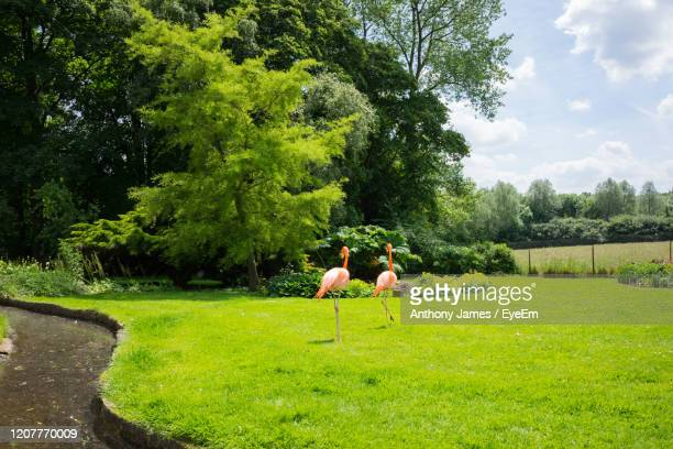 ping flamingoes on field against trees - northamptonshire stock pictures, royalty-free photos & images