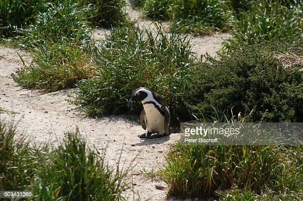 Pinguin PinguinNationalpark in Boulder am Atlantischen Ozean bei Kapstadt Südafrika Afrika Tier Reise NB DIG PNr 1299/2005