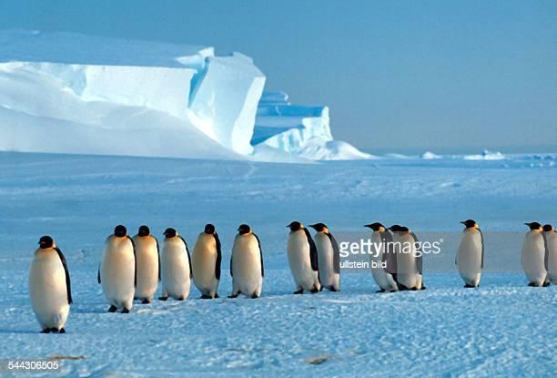 Pinguine Kaiserpinguine in der Antarktis 2005
