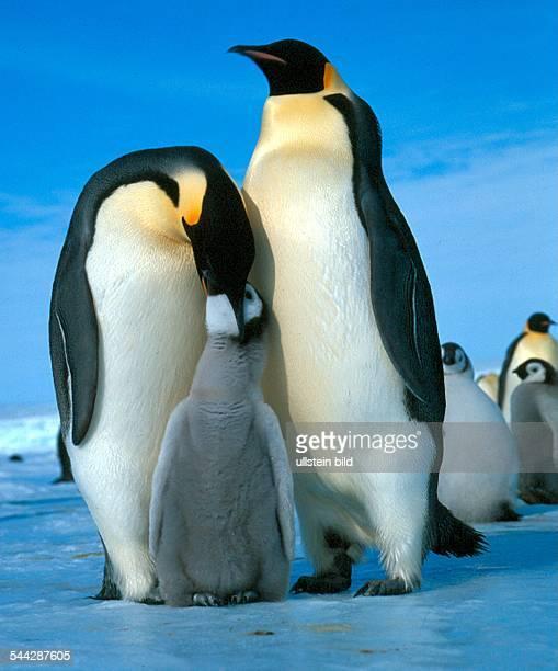 Pinguine Kaiserpinguine in der Antarktis Pinguin füttert ein Junges 2005