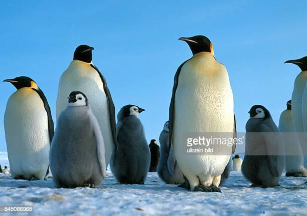 Pinguine Kaiserpinguine mit ihren Jungen in der Antarktis 2005
