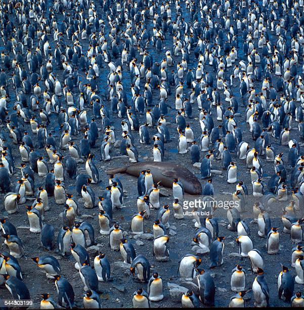 Pinguine Königspinguine in der Antarktis in der Mitte eine Robbe 2005