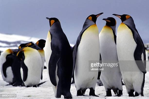 Pinguine Königspinguine mit ihrem Jungen in der Antarktis 2005