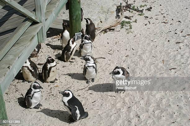Pinguine PinguinNationalpark in Boulder am Atlantischen Ozean bei Kapstadt Südafrika Afrika Atlantik Tier Tiere Reise NB DIG PNr 1299/2005