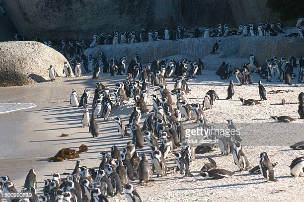 Pinguine Reise Kapstadt/Südafrika/Afrika Boulders Meer Atlantik Pinguin Pinguine Tier Strand PNr 1139/2003 HS Foto PBischoff/CD Veröffentlichung nur...