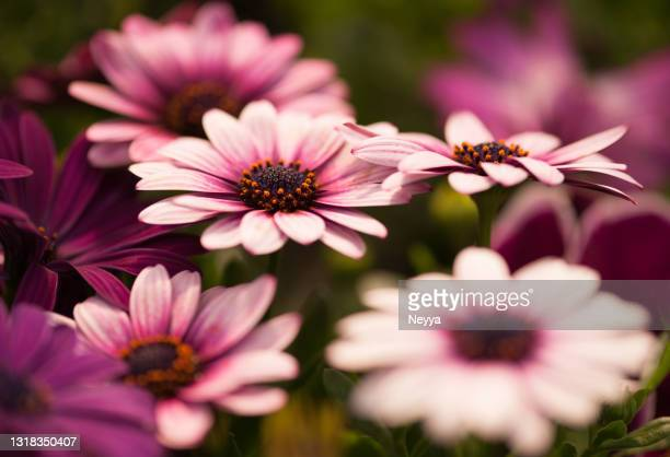 pink african daises (osteospermum) in bloom - ornamental plant stock pictures, royalty-free photos & images