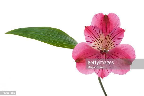 pink alstromeria - alstroemeria stock pictures, royalty-free photos & images