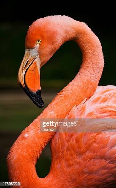 pink american flamingo - greater flamingo stock photos and pictures