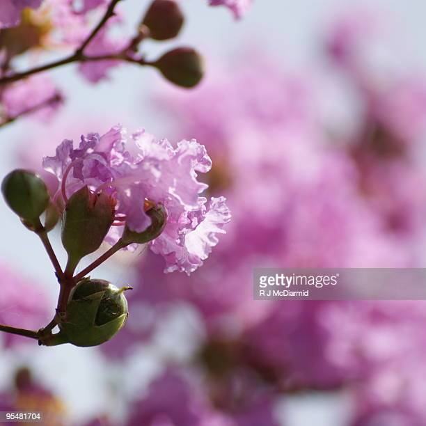 pink and glorious crape myrtle - crepe myrtle tree stock pictures, royalty-free photos & images