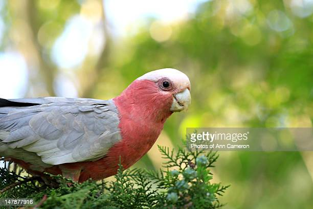 Pink and gray Galah bird