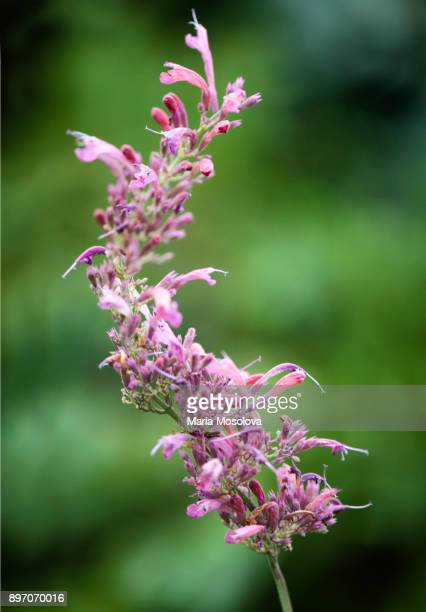 Pink and Lavender Flowers of Agastache Plant
