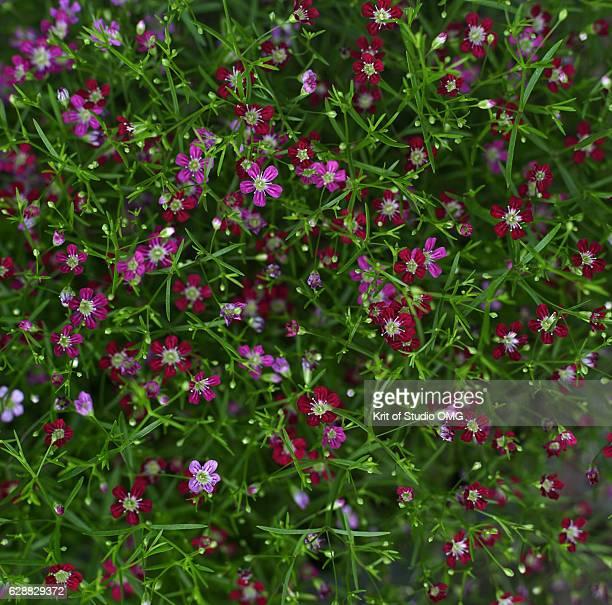 Pink and magenta Gypsophila