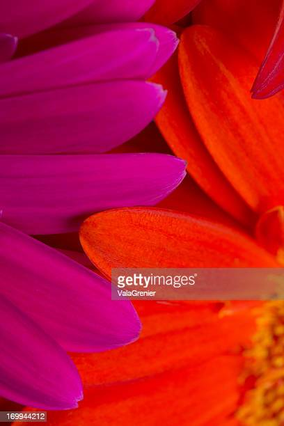 pink and orange gerbera daisies overlapping petals. - hot pink stock photos and pictures