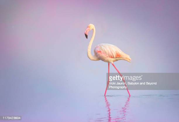 pink and purple close up of greater flamingo in pastel colors at amboseli, kenya - legs apart stock pictures, royalty-free photos & images