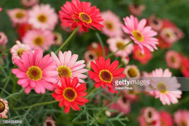 pink and red daisies - gerbera daisy stock pictures, royalty-free photos & images