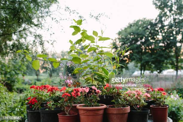 pink and red flowers in pots - kamperen stock pictures, royalty-free photos & images
