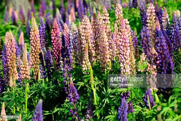 Pink and violet flowering Lupins (Lupinus), Torres del Paine National Park, Province of Ultima Esperanza, Chile