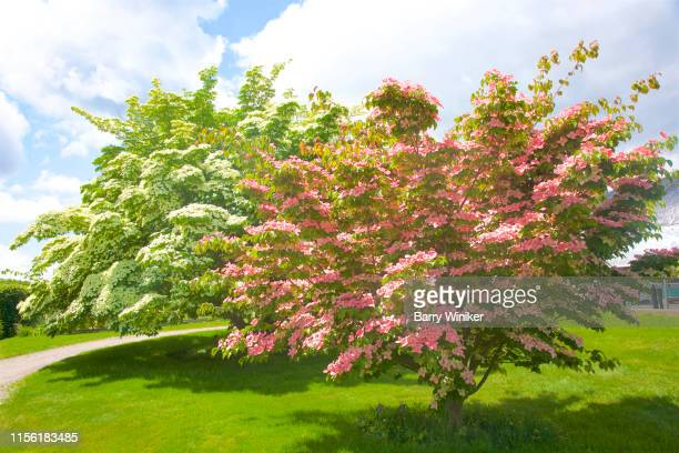 pink and white dogwoods in june - kousa dogwood stock pictures, royalty-free photos & images
