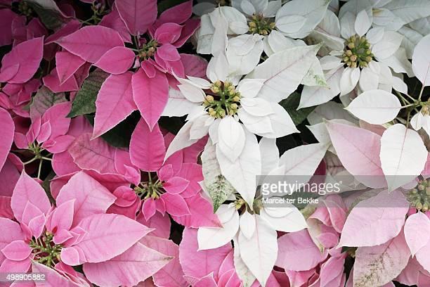 pink and white euphorbia plants - flor de pascua fotografías e imágenes de stock