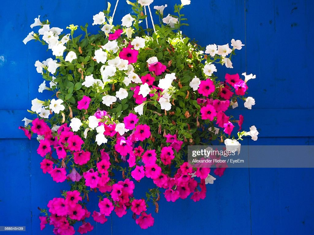 Pink And White Flowers Hanging Against Blue Door : Stock-Foto
