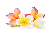 pink and white frangipani or plumeria (tropical flowers) isolated on white background