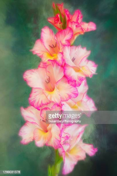 pink and white gladiolus on blue green background - グラジオラス ストックフォトと画像