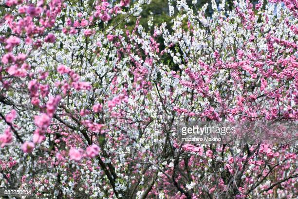 Pink and White Japanese Plum Blossoms
