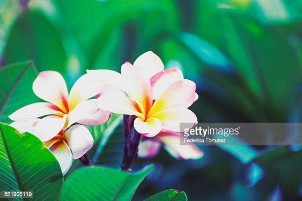 Pink and white plumeria flowers