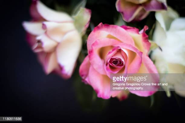 pink and white roses - gregoria gregoriou crowe fine art and creative photography. stock pictures, royalty-free photos & images