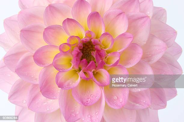 Pink and yellow dahlia 'El Paso' in close up.