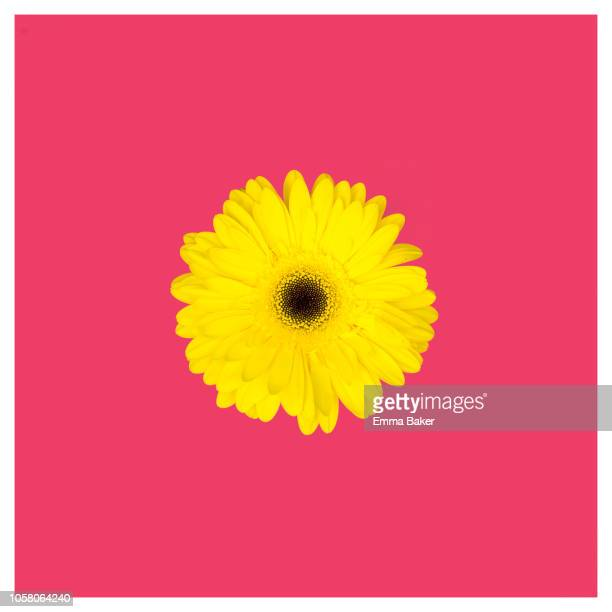pink and yellow - emma baker stock pictures, royalty-free photos & images