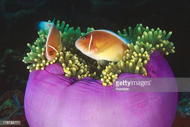 Pink anemone fish Amphiprion perideraion with their host Magnificent sea anemone Heteractis magnifica Tulamben Bali Indonesia