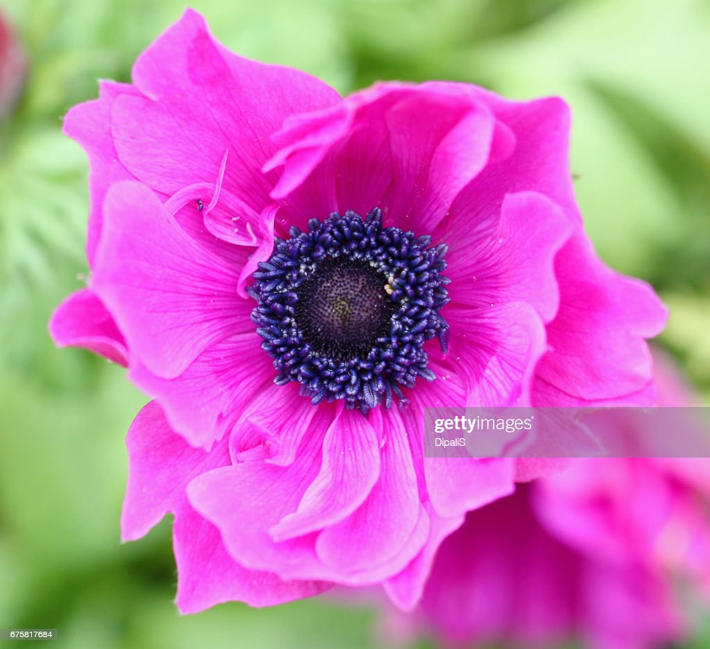 Pink Anemone Flower In Spring Season Stock Photo Getty Images