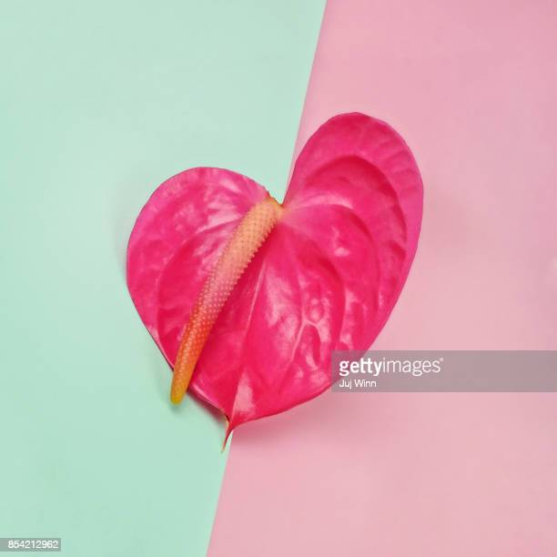 Pink anthurium on color blocked background