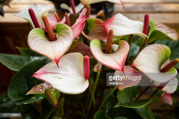 pink anthuriums in bloom - anthurium stock pictures, royalty-free photos & images